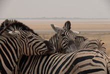 Close Up Of Two Burchells Zebras Resting Their Heads On The Back Of A Third Zebra In The  Yellow Grasslands Of Etosha National Park, Namibia, Africa