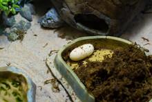 Reptile Egg In The Terrarium. The Gecko Laid An Egg.
