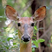 White-tailed Deer Doe - Portrait