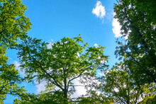 Green Treetops Against A Blue Sky, Natural