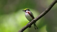 The Chestnut-sided Warbler (Setophaga Pensylvanica) Is A New World Warbler