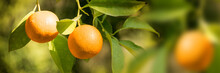 Close Up Of Ripe Oranges Growing On A Tree In Winter, Panoramic Background