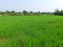 Agricultural Field With Green Rice Plantations