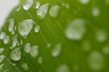 Raindrop Of Water Sparkle In Morning ,Large Beautiful Drops Of Transparent  On A Green Leaf Macro ,Natural Background
