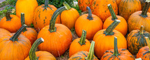 Banner With Autumn Harvest Of Orange Pumpkins. Preparing For Halloween. The Collected Pumpkins Are Stacked On The Hay With Green Tails Up.