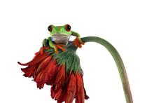 Red-eyed Tree Frog On Red Flower, Red-eyed Tree Frog (Agalychnis Callidryas) Closeup