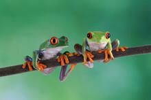 Two Red-eyed Tree Frog Sitting On Branch, Red-eyed Tree Frog (Agalychnis Callidryas) Closeup