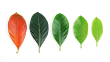 Autumn Leaf Transition And Variation Concept For Fall And Change Of Season.Colorful Of Jackfruit Leaves.