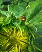 Macro Shot Of Two Copulating Ladybugs On The Leaf Of A Sunflower