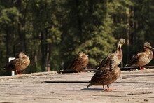 Wild Ducks Sit On A Wooden Platform By The Lake. Wild Ducks Bask In The Sun.