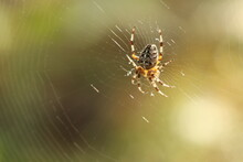 The Spider Sits On A Web And Waits For Prey. Spider On The Hunt.