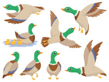 Wild Ducks. Mallard Duck, Cute Flying Goose And Green Headed Swimming Canard Isolated Cartoon Vector Illustration Set