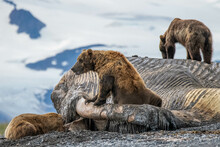 Bears On The Coast In Alaska. The Bears Are Eating A Washed Up Dead Whale. Some Bears Are Fighting, Napping, Posing, Fat, And Having Fun.
