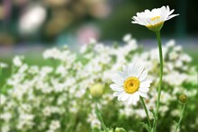 Flower Of Garden Or Medicinal Chamomile. The Concept Of Naturalness.