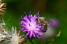 Western Honey Bee (Apis Mellifera) On Welted Thistle // Westliche Honigbiene (Apis Mellifera) An Krauser Distel