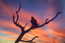 The Silhouette Of A Feathered Raptor Against A Sunset Sky.