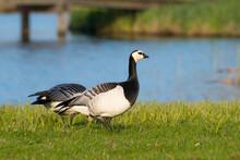 Two Barnacle Goose (Branta Leucopsis) Foraging In A Dutch Polder Landscape