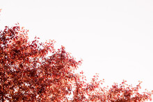 Frame Of Red Sunny Autumn Leaves, The Arrival Of Golden Autumn, Red-leaved Plum, Horizontal Image.