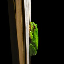 European Green Tree Frog (Hyla Arborea)