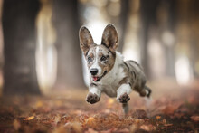 A Funny Marbled Welsh Corgi Cardigan Puppy With Multi-colored Eyes Running Among The Fallen Leaves Against The Backdrop Of A Bright Autumn Landscape. Paws In The Air. Tongue Sticking Out
