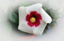 Ibisco Hibiscus Moscheutos L.