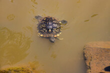 Small Terrapin Or Snapping Turtle Swimming To Shore.