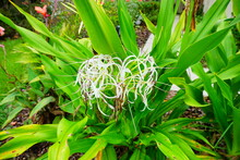 Crinum Asiaticum Flower In A Garden