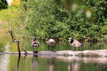 A Couple Of Canadian Geese Grouped Toggether