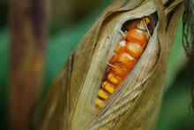 Corn Husks Larger Than The Husks.