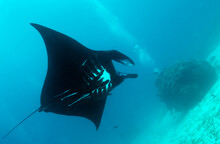 Manta Rays Are Large Rays Belonging To The Genus Mobula. The Larger Species, M. Birostris, Reaches 7 M (23 Ft) In Width, While The Smaller, M. Alfredi, Reaches 5.5 M (18 Ft).