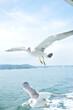 松島の遊覧船に寄ってくるウミネコ