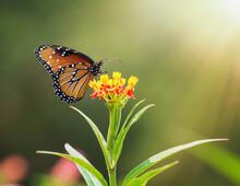 Queen Butterfly (Danaus Gilippus) Feeding On Milkweed Flowers. Copy Space.