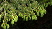Horizontal Image Of The Branches Of A Picea Abies Tree With New Shoots. In A Forest Of High Ecological Value. Selective Approach. Space For Copy. Space For Text.