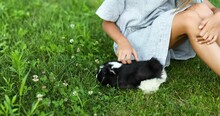 A Little Girl Play With Black Guinea Pig Sitting Outdoors In Summer, Pet Calico Guinea Pig Grazes In The Grass Of His Owner's Backyard, Love Pets