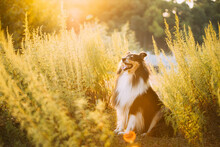 Tricolor Rough Collie, Funny Scottish Collie, Long-haired Collie, English Collie, Lassie Dog Sitting In Green Grass In Sunny Summer Evening