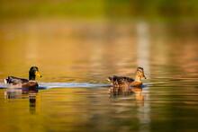 Mullard Duck, Wild Duck, Wildlife Duck,