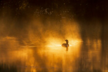 Loon In A Sunspot At Misty Forest Lake