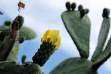 Fiore Giallo Di Fico D'india Con Verde E Sfondo Azzurro