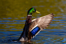 Male Mallard Duck Flapping To Take Off And Fly Away In London, UK