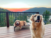 Golden Retriever Dog Breed - The Golden Retriever Is A Medium-large Gun Dog That Was Bred To Retrieve Shot Waterfowl, Such As Ducks And Upland Game Birds, During Hunting And Shooting Parties.
