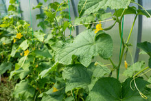 Cucumber Plants Closeup With Green Leaves And Flowers Of Vegetable Grow In Greenhouse. Organic Food Agriculture Concept. High Quality Photo