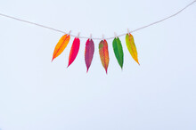 Six Autumn Leaves Hanging On A Rope, Isolated On White Background. Yellow, Orange, Red, Purple, Green Leaves. Seasons Concept.