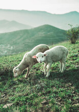 Two Sheep Walk In The Meadow And Eat Grass. Mountain View On The Background. Green Grass. Animals In Nature