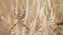 Macro Photo Female Spider Argiope Bruennichi Or Aspen Spider In Spider Web Against Background Dry Beige Grass.Beautiful Natural Insect Banner Close Up.Yellow-black Striped Poisonous Dangerous Spider.