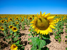 Field Of Sunflowers On A Sunny Day In Summer With A Sunflower In The Foreground.