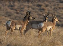 Pronghorn, Antelope, Bucks