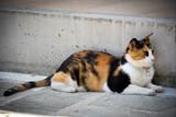 Fototapeta Zwierzęta - Kot szylkretowy