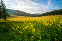 View Of A Sunlit Mountain Meadow Overgrown With Yellow Wild Peonies