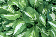 White-green Leaves Of Hosta Undulata Close-up. Natural Natural Background With Deciduous Texture