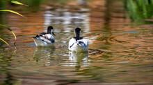 Avocets Swimming Away In Wonderful Lake